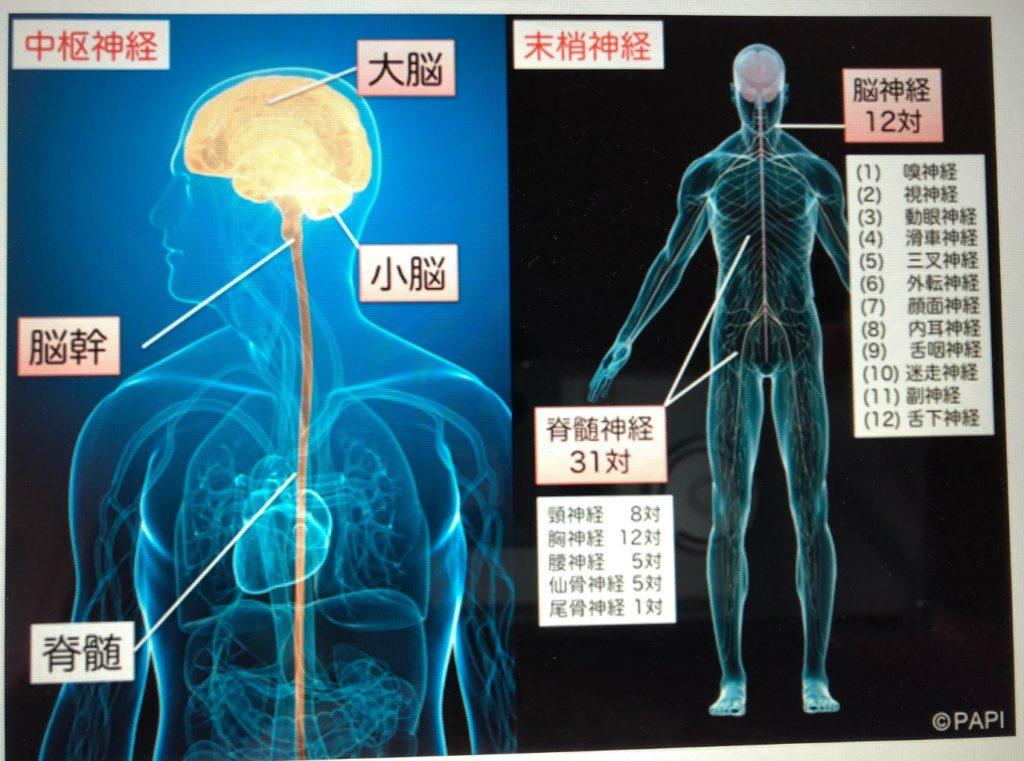 中枢神経・末梢神経